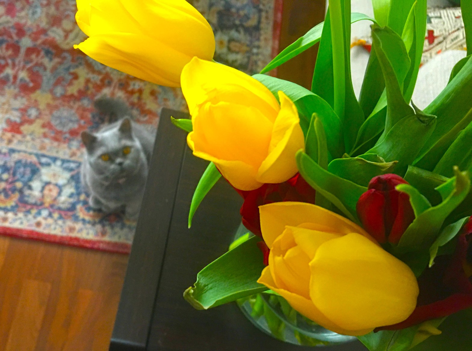 Photograph of BlueBlue the cat looking at tulips (Deptford, London)